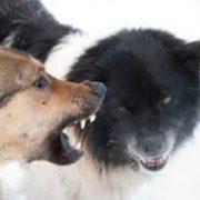 Honden gedragspraktijk en gedragtherapie: grommen