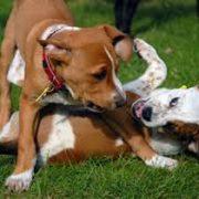 Honden gedragspraktijk en gedragtherapie; mag mijn puppy grommen?